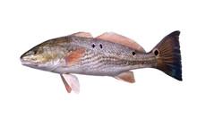 Fish  Red Drum (Sciaenops Ocel...