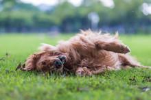 Golden Retriever Rolls On The Grass