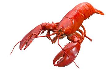 Zamyka w górę odparowanego Kanadyjskiego homara na isolted białym tle, Czerwony Kanadyjski homar, Gotujący homar
