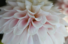 White  Flower With Pink Petals. Details Of Filled Dahlia.