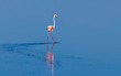 Leinwandbild Motiv Wild african birds. One bird of pink african flamingo  walking around the lagoon and looking for food