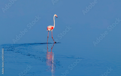 Garden Poster Flamingo Wild african birds. One bird of pink african flamingo walking around the lagoon and looking for food