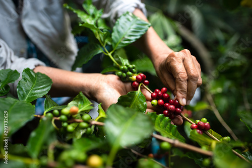 arabica coffee berries with agriculturist handsRobusta and arabica coffee berrie Wallpaper Mural