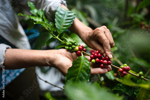 Photo arabica coffee berries with agriculturist handsRobusta and arabica coffee berrie