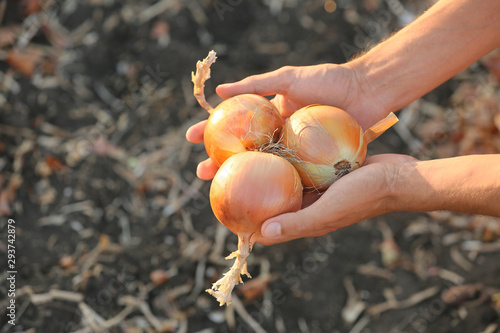 Fototapeta Male farmer with gathered onions in field, closeup obraz