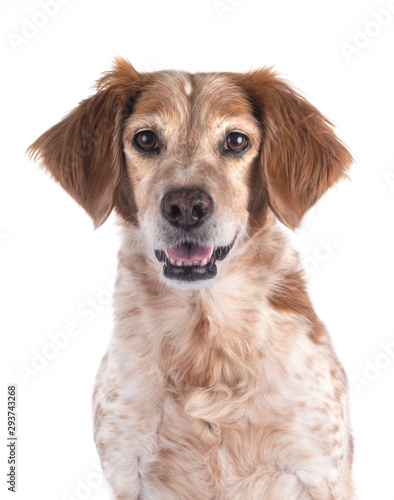 Photo brittany dog in studio