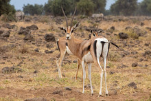 Two Thomsons Gazelle