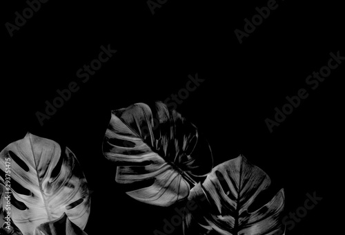 Photo tropical black monstera palm leaves tree background