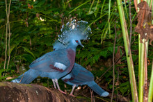Blue Crowned Pigeon Bird In Indonesia