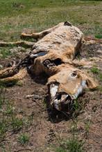Animal Cadaver In Desert
