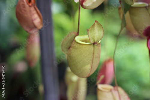 Fotografía  Nepenthes tree, Tropical pitcher plants growth in nature