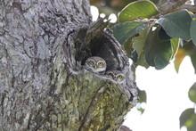 Spotted Owlet (Athene Brama) I...