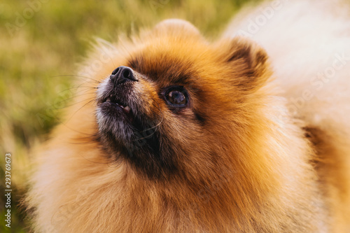 Pomeranian dog portrait. Close up. adorable small face Wallpaper Mural