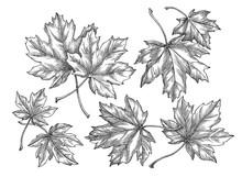 Maple Leaves, Hand Drawn Illus...