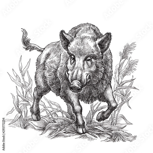 Photo Hand drawn black and white illustration, wild boar.