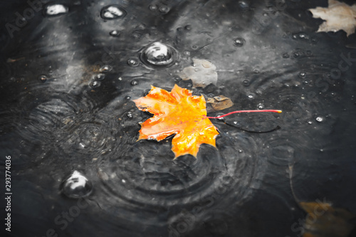 Orange maple leaf fell into a gray puddle during the autumn torrential rain and floats downstream Canvas Print