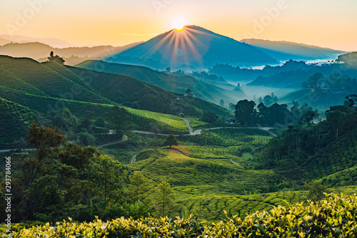 Fototapeta Sunrise of Tea fields in Cameron Highlands, Malaysia obraz