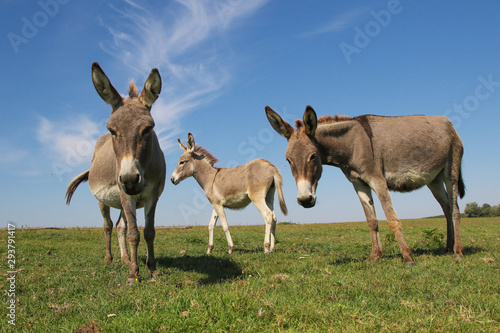 Tablou Canvas Three funny curious donkeys is staring in the meadow