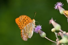 Silver-washed Fritillary Butterfly In Natural Environment, Danubian Wetland, Slovakia