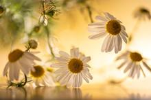 Beautiful Camomile Flowers Und...