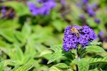 Honey Bee (Apis Mellifera) Fee...