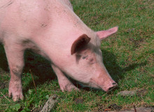 Pig Grazing In The Grass