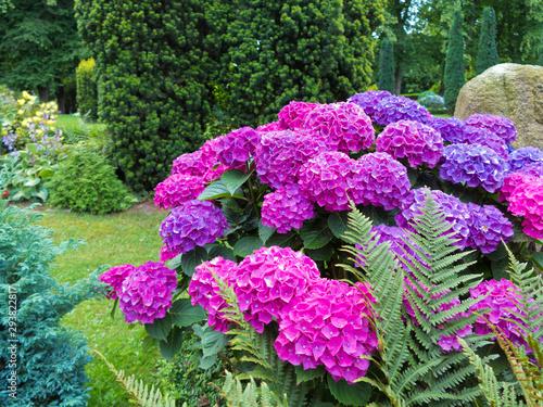 Foto auf AluDibond Indien rosa, violette und blau blühende Hortensie im Garten