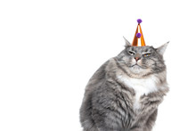 Funny Studio Portrait Of A Young Blue Tabby Maine Coon Cat Displeased About Wearing A Birthday Hat In Front Of White Background With Copy Space
