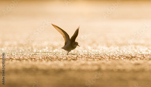 Temminck's stint sitting on the ground Tablou Canvas