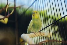 Wellensittiche Sitzen Im Vogelkäfig Draußen