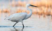 Little Egret Hunting In The Water