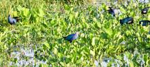Purple Swamphen (Porphyrio Por...