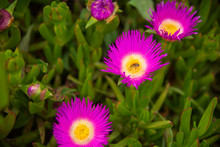 A Honey Bee Collecting Nectar Form Purple Ice Plant Flower In Spring, Closeup