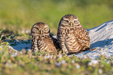A Pair Of Curious Burrowing Ow...