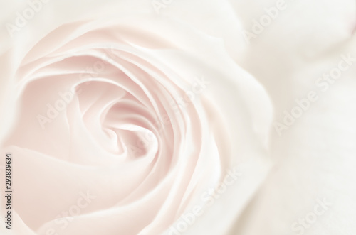 Foto op Canvas Roses rose