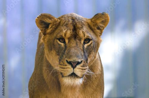 Carta da parati Emotion lioness portrait on a homogeneous background