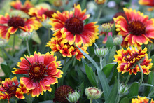 Gaillardia Plants And Flowers ...