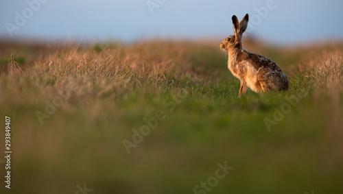 Fotografia, Obraz Wild hare (lepus europaeus) - Lonely wild brown hare lit by warm evening light a
