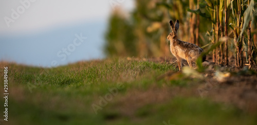 Fototapeta Wild hare (lepus europaeus) - Lonely wild brown hare lit by warm evening light a