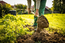 Senior Gardener Gardening In H...
