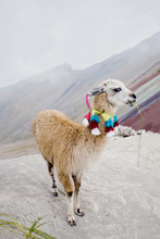 Lama Chewing Grass