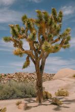 A Joshua Tree In The Desert On...