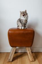 Puffy Little Cat