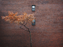 Two Small Windows And A Lone Orange Tree Amidst A Large Brick Wall