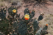 Prickly Pear Cactus Blooming I...