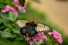 A Great Mormon Butterfly On Pi...