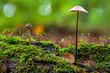Zwei Langstielige Knoblauchschwindlinge auf dem Waldboden