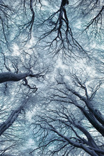 Giant Trees With Frozen Branch...