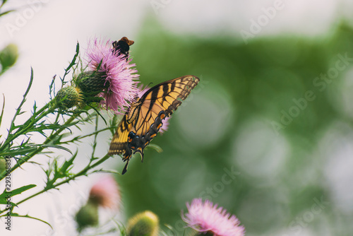 eastern tiger swallowtail butterfly (papilio glaucus) and bumblebees feeding on thistle flowers in the Fall