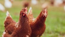 Happy Hens On An Organic Farm - Chicken Portrait